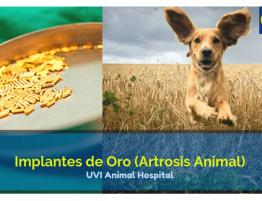 Implantes de Oro en Mascotas