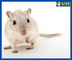 roedores-mascota-UVIANIMAL